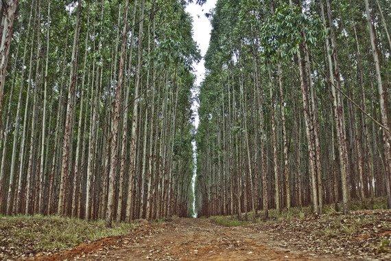 La nueva aplicación gratuita alojada en la nube permite estimar la producción de plantaciones de eucalipto en Galicia y la cornisa cantábrica. / Cassio Abreu