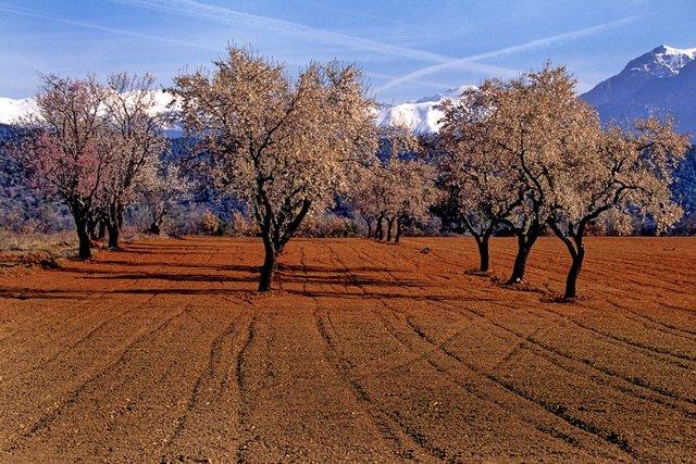 almond-tree-393969_960_720